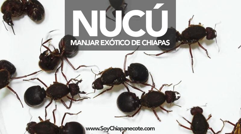 Hormiga Nucu gastronomía chiapas